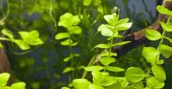 Микрантемум тенистый (Micranthemum umbrosum)