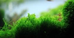 Pearl moss-Blepharostoma-trichophyllum