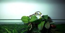 Орхидеи в аквариуме. Новые листья и второе цветение