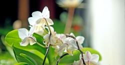 Орхидеи в аквариуме. Второе цветение