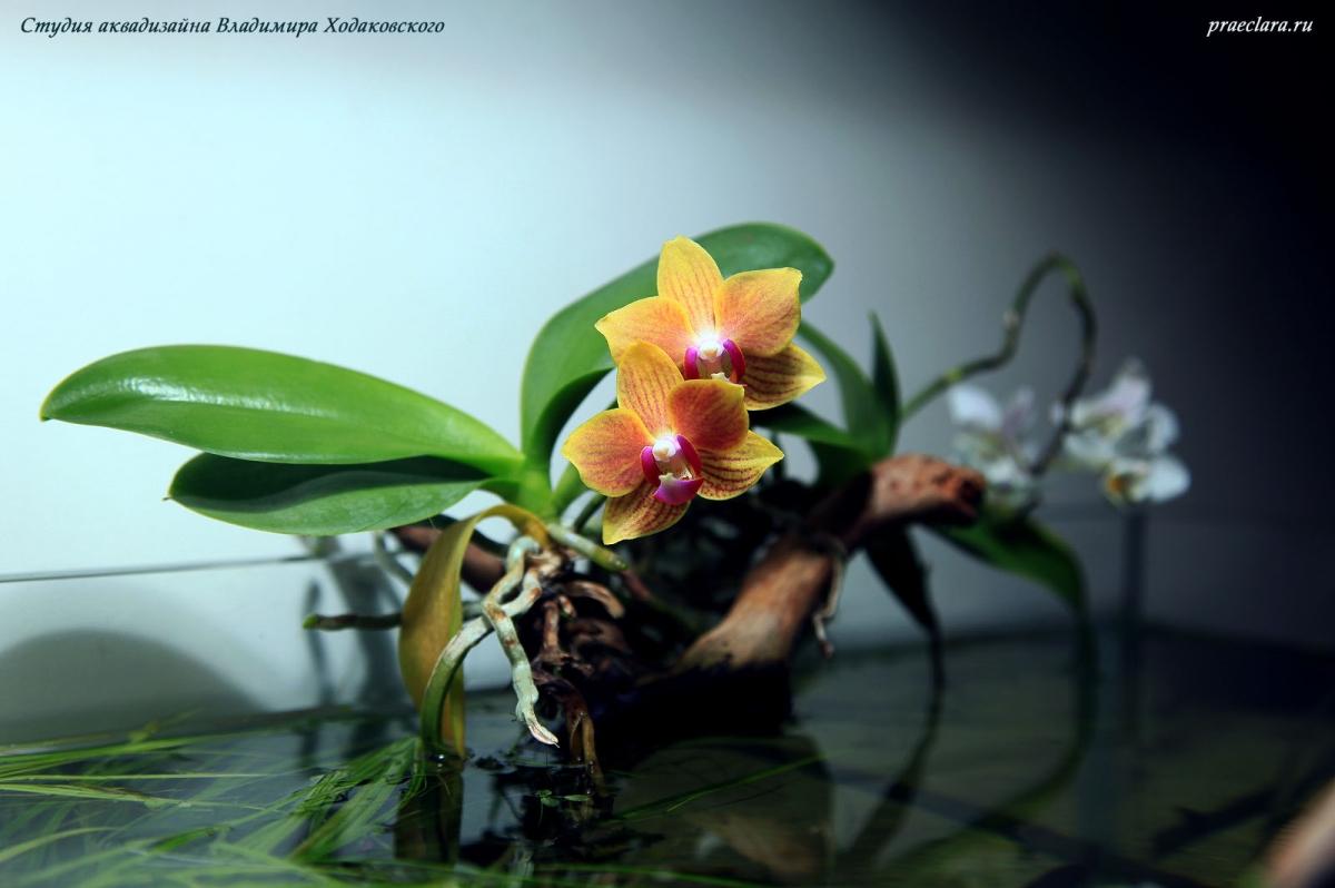 Aquascape River Flows in You, 243л, орхидеи на поверхности аквариума