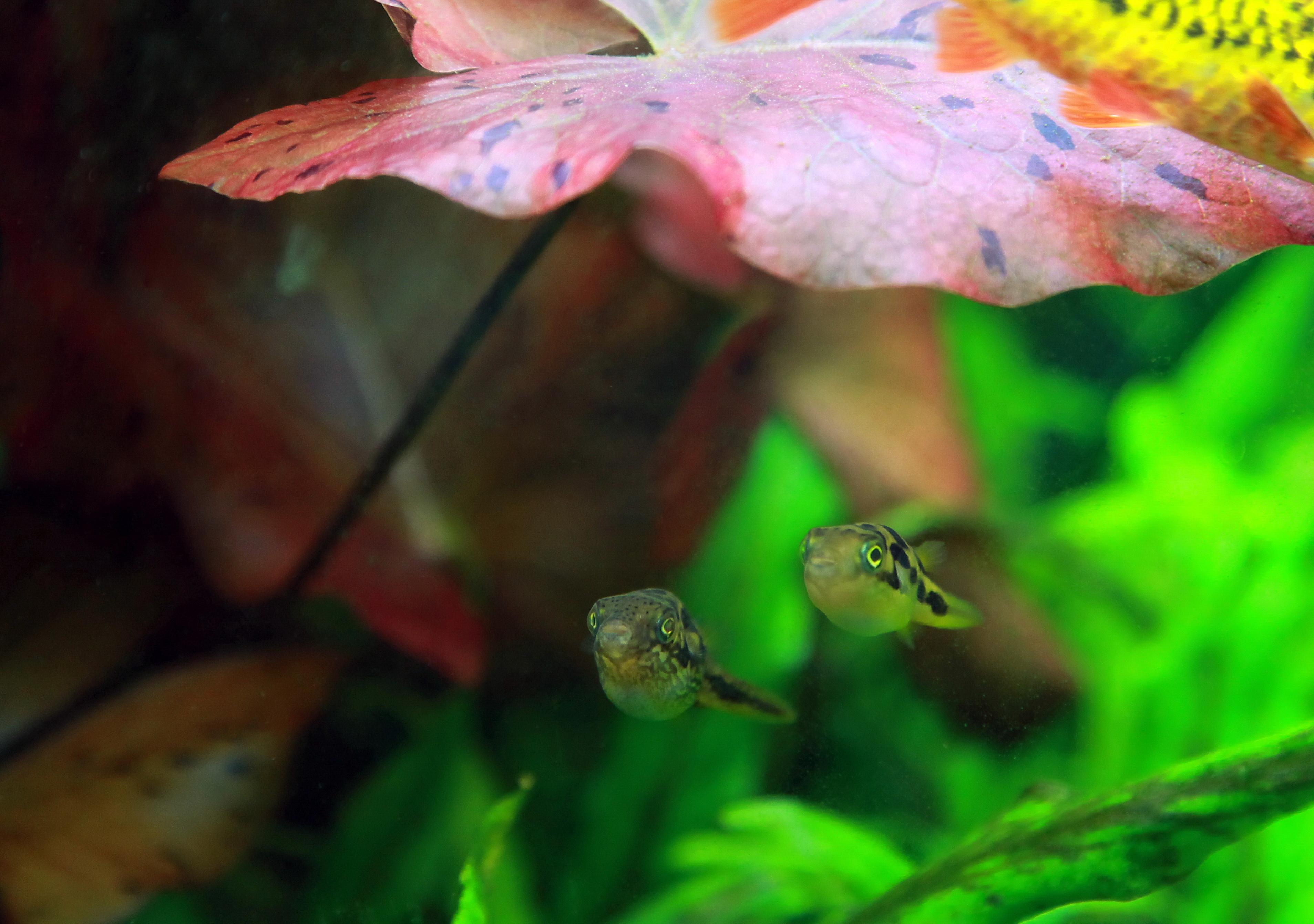 Tetraodon travancoricus (пара)