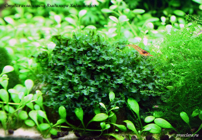 Marchantia sp.«Mini»