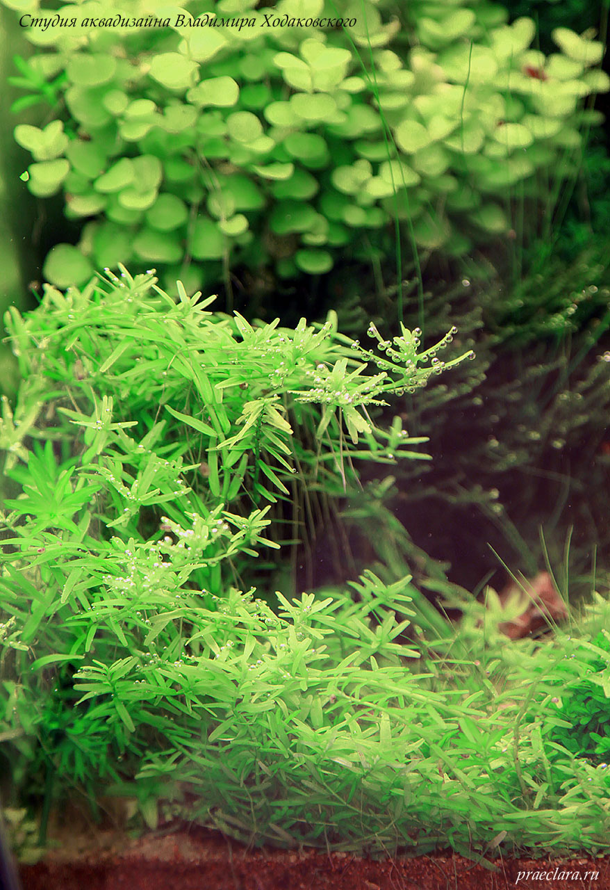 Ротала ротундифолия зеленая форма, (Rotala rotundifolia sp. green) или ротала круглолистная зеленая