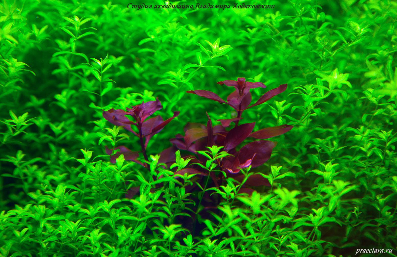 Людвигия супер ред (Ludwigia palustris super red)